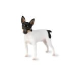 Petland Strongsville Toy Fox Terrier