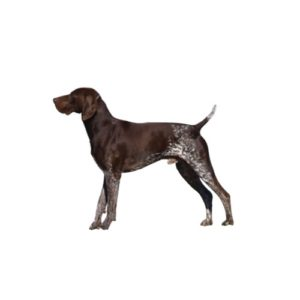 german-shorthaired-pointer