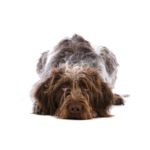 Petland Strongsville German Wirehaired Pointer