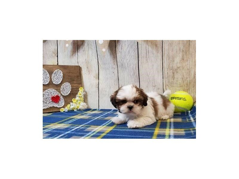 Shih Tzu-Male-Brown & White-2451331-Petland Strongsville
