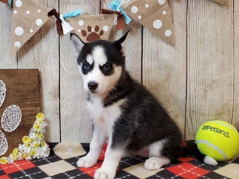 Pomsky-DOG-Female-Black & White-2463465-Petland Strongsville