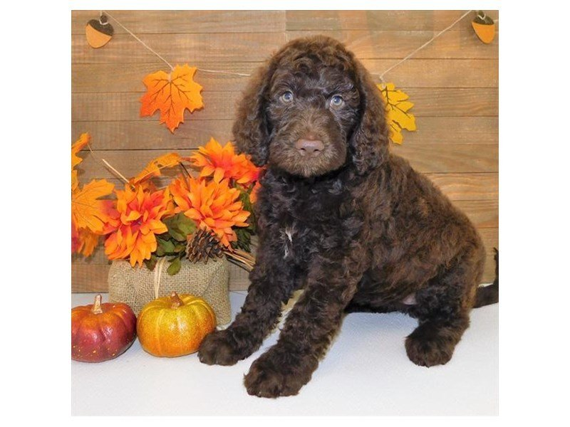 Labradoodle-Female-Chocolate-2469887-Petland Strongsville