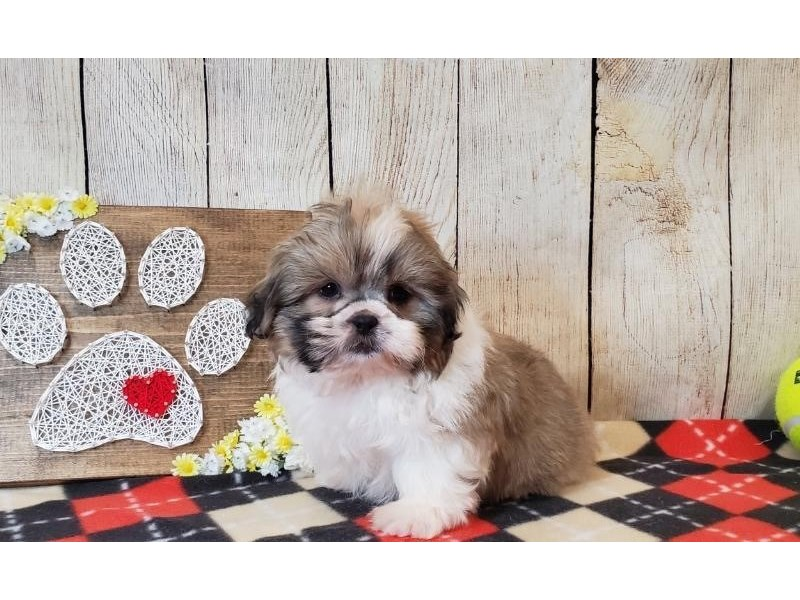 Shih Tzu-Male-Brown & White-2516401-Petland Strongsville