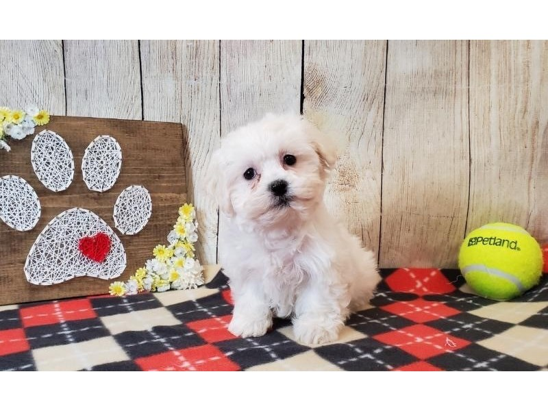 Havanese-Female-Cream & White-2516686-Petland Strongsville