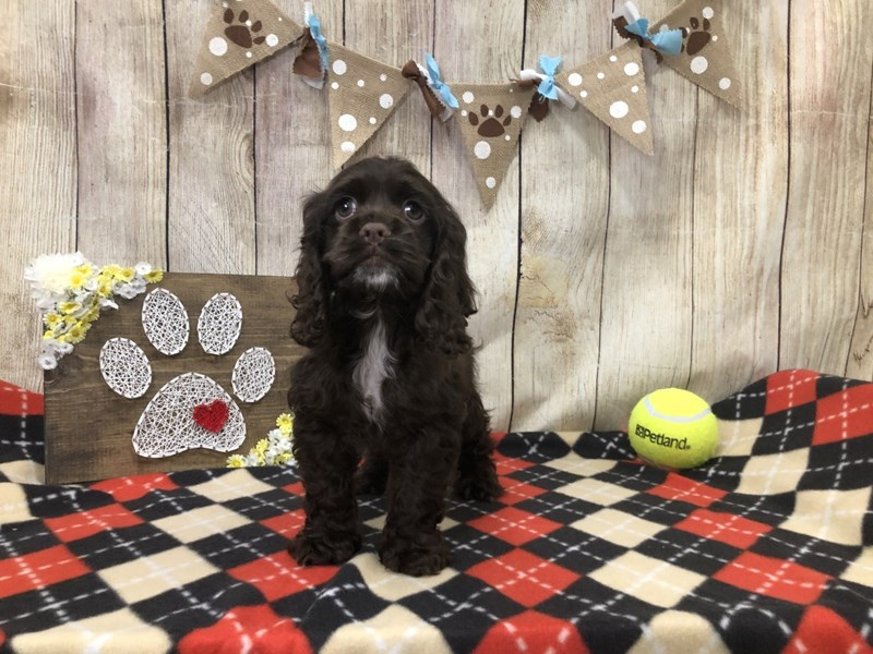 Cocker Spaniel-Female-CHOC-2509874-Petland Strongsville