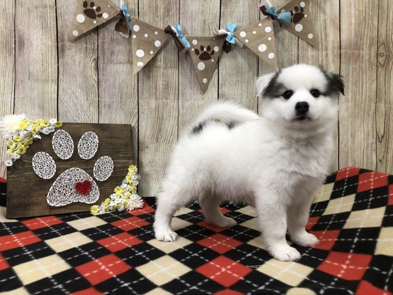 Pomsky-Male-BLACK WHITE-2509519-Petland Strongsville