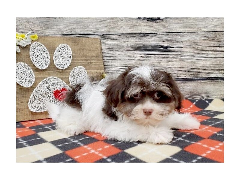 Havanese-DOG-Male-Chocolate & White-2539779-Petland Strongsville