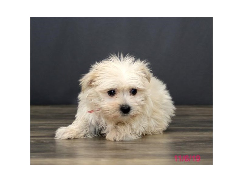 Morkie-Female-Cream-2524775-Petland Strongsville