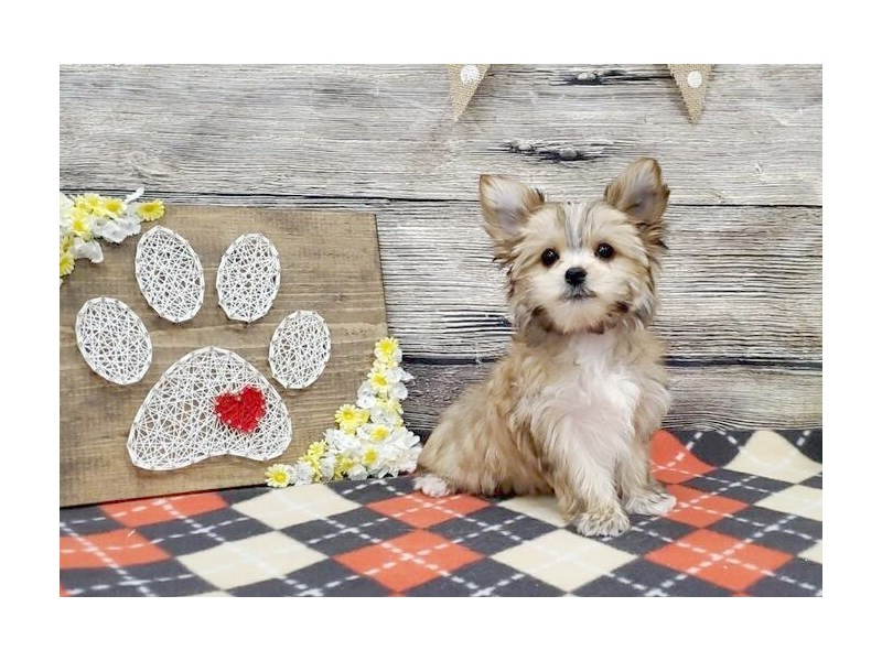 Morkie-Male-Tan-2539782-Petland Strongsville