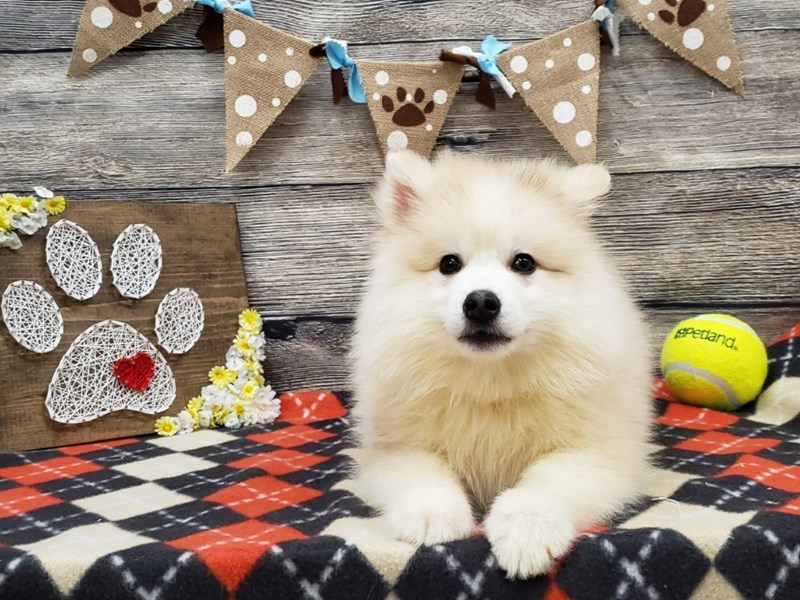 Pomsky-Male-Tan / White-2554875-Petland Strongsville