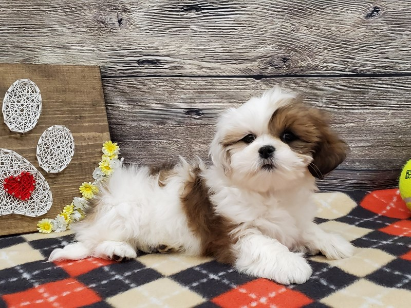 Lhasa Apso-Female-Red / White-2563019-Petland Strongsville