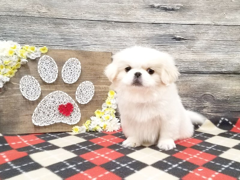 Pekingese-Male-White & Cream-2574200-Petland Strongsville