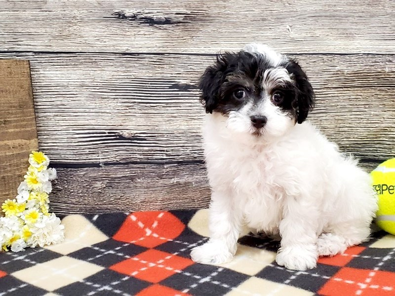 Maltipoo-Male-Black & White-2581246-Petland Strongsville