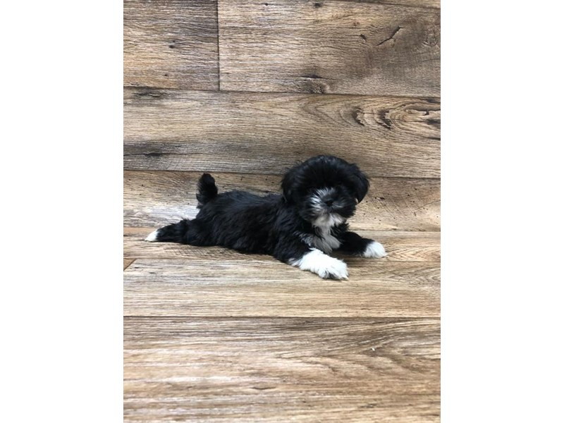 Lhasa Apso-Female-Black-2613139-Petland Strongsville