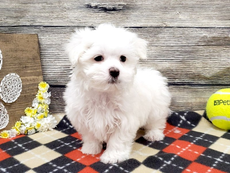 Maltese-Male-White-2619894-Petland Strongsville