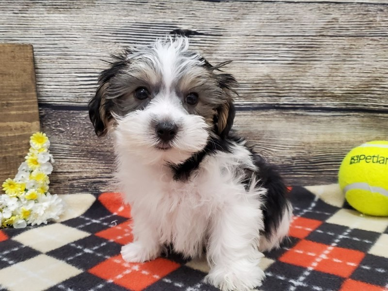 Morkie-Male-Black & White-2639389-Petland Strongsville