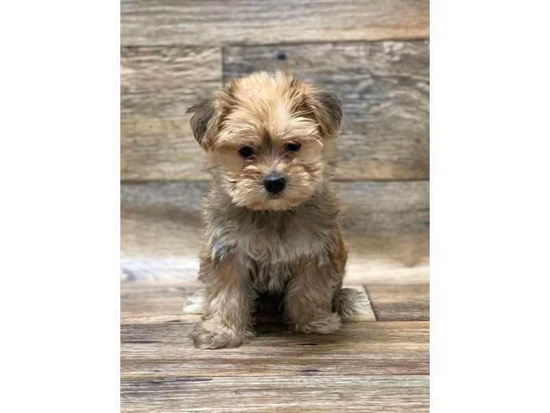 Morkie-Male-Golden-2656295-Petland Strongsville