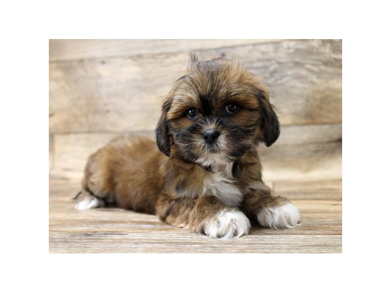 Lhasa Apso-DOG-Female-Grizzle-2708351-Petland Strongsville
