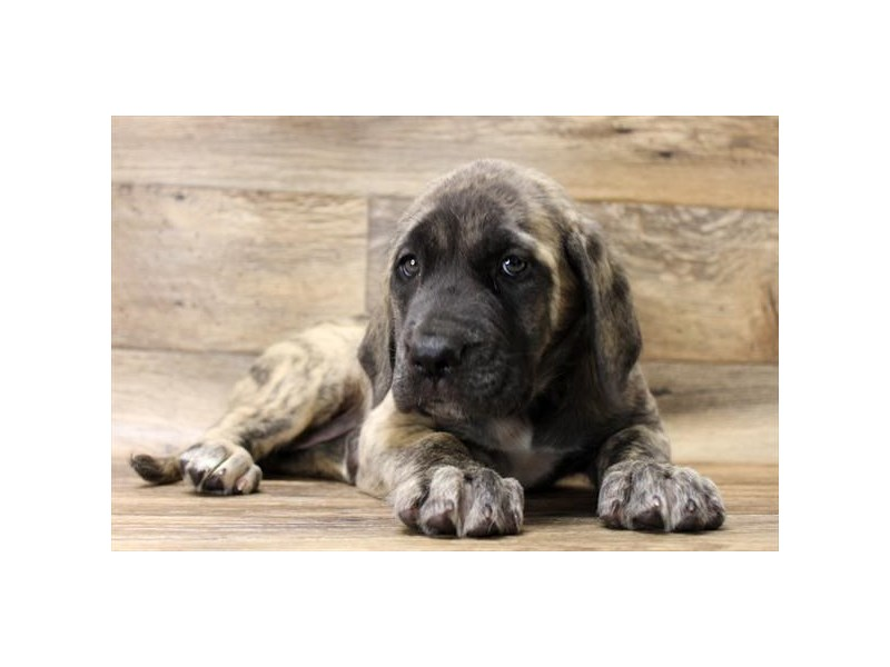 Mastiff-Female-Brindle-2708352-Petland Strongsville