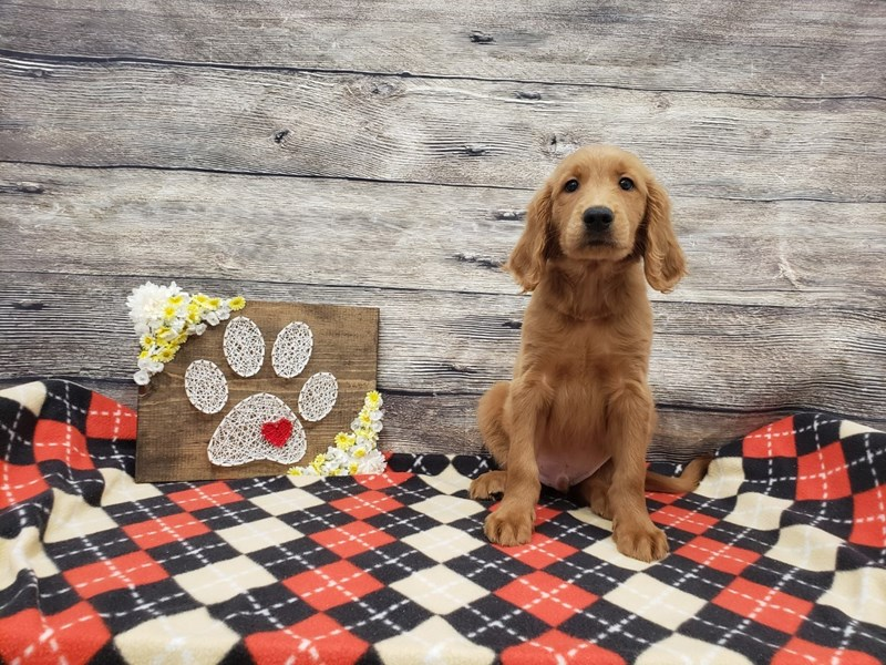 Labradoodle-Male-Red-2713427-Petland Strongsville