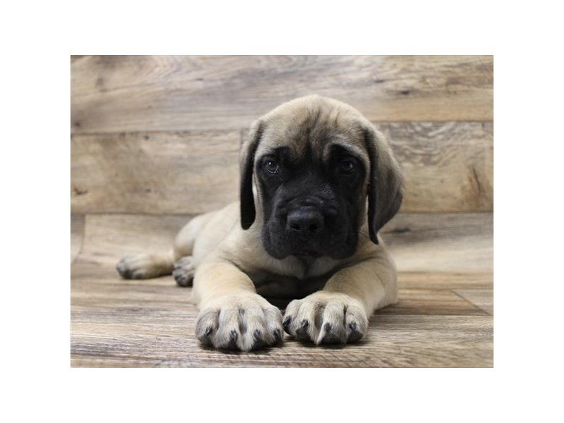 Mastiff-Male-Fawn-2720515-Petland Strongsville