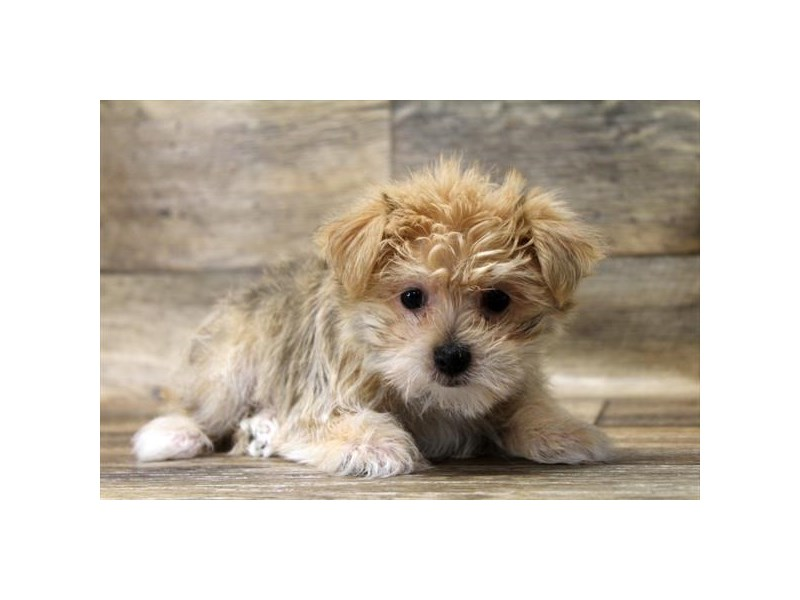 Morkie-Male-Gold-2720521-Petland Strongsville