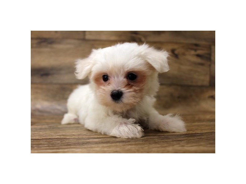 Maltese-Female-White-2727766-Petland Strongsville