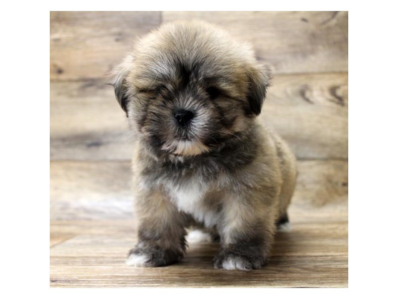 Lhasa Apso-Male-Golden-2727768-Petland Strongsville