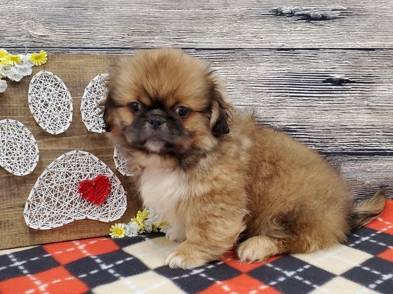 Pekingese-Male-Red Sable-2735704-Petland Strongsville