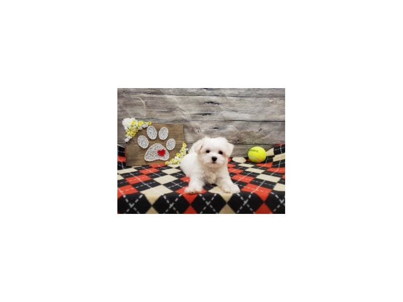 Maltese-Male-White-2738406-Petland Strongsville