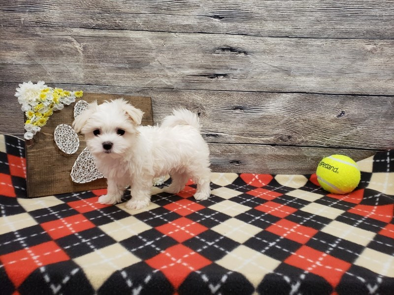 Maltese-Male-White-2738407-Petland Strongsville