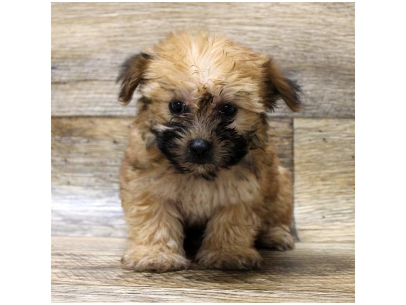 Morkie-Female-Red Sable-2779923-Petland Strongsville