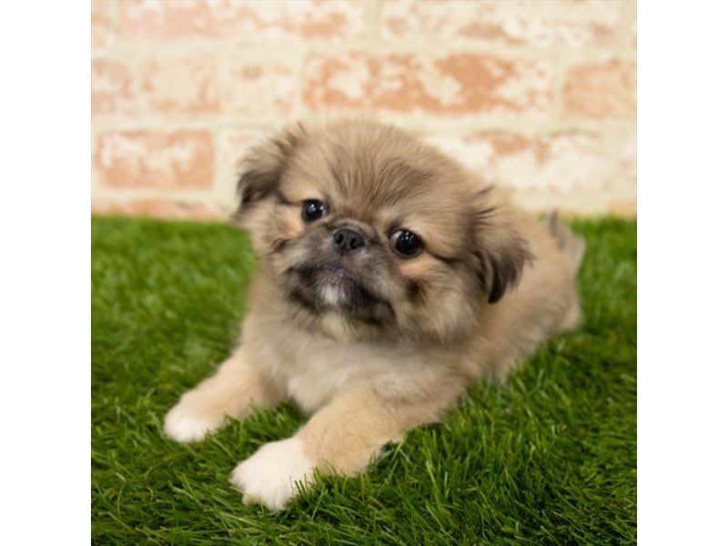 Pekingese-Male-Cream Sable-2783514-Petland Strongsville