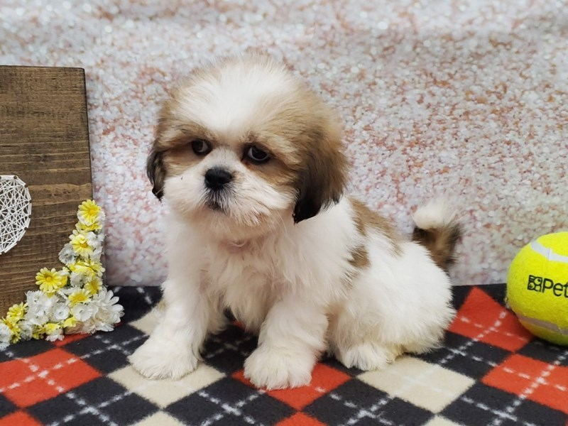 Lhasa Apso-Male-Golden-2798478-Petland Strongsville