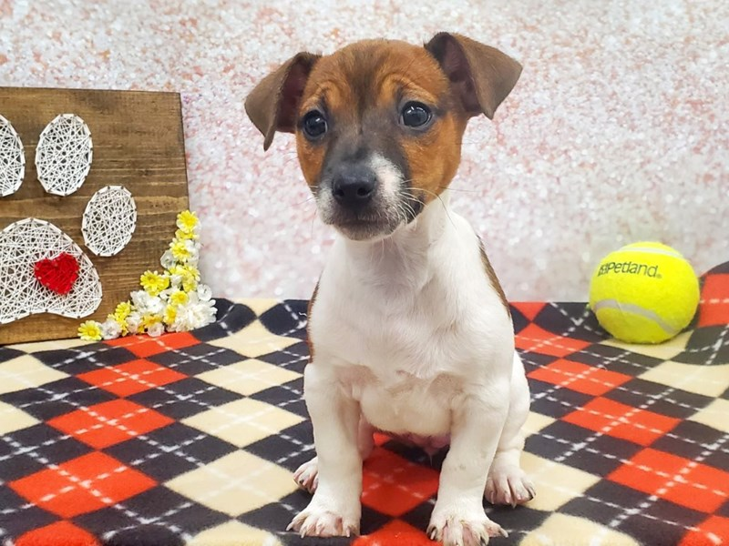 Jack Russell Terrier-DOG-Female-White / Brown-2926612-Petland Strongsville