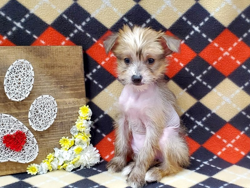 Chinese Crested-Female-Fawn-2925183-Petland Strongsville