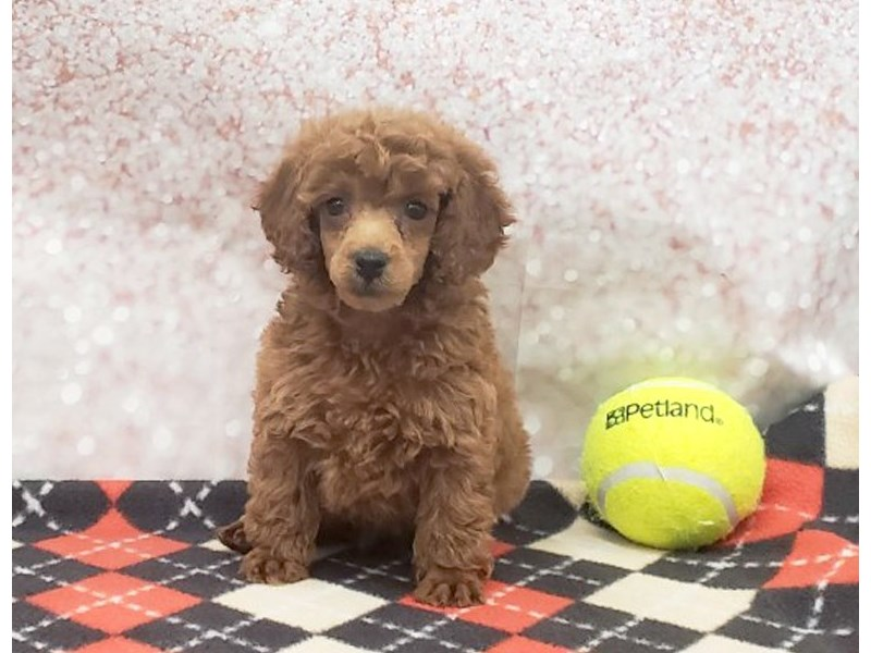 Poodle-Male-Red-2934389-Petland Strongsville