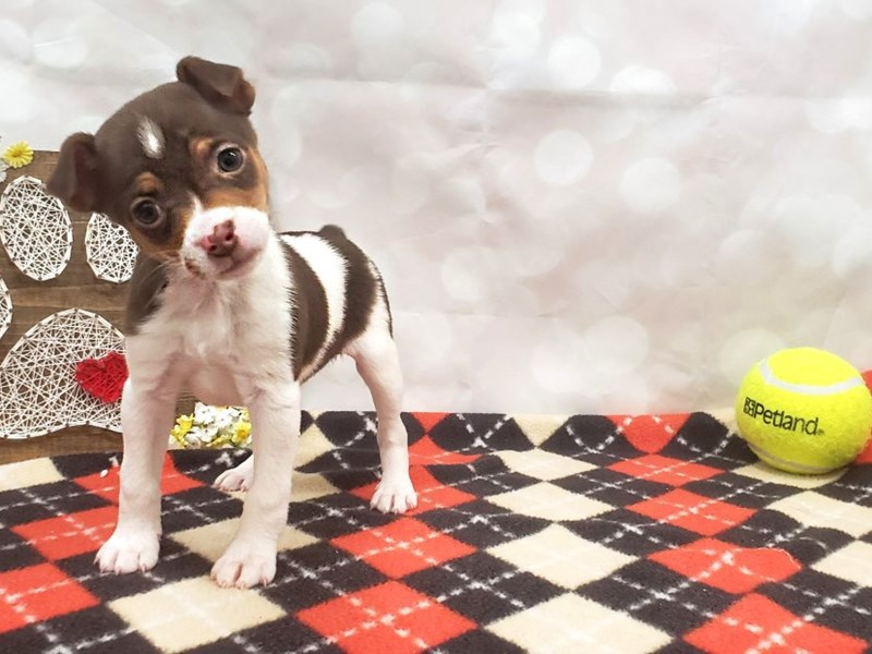 Jack Russell Terrier-Female-Chocolate White Tan-3024826-Petland Strongsville