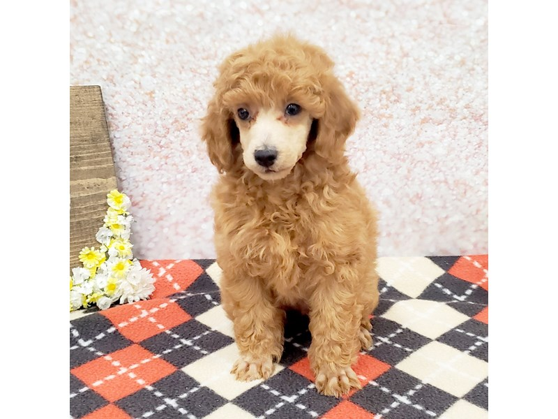 Poodle-Male-Red-3189471-Petland Strongsville