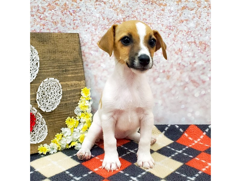 Jack Russell Terrier-Female-White & Red-3248587-Petland Strongsville