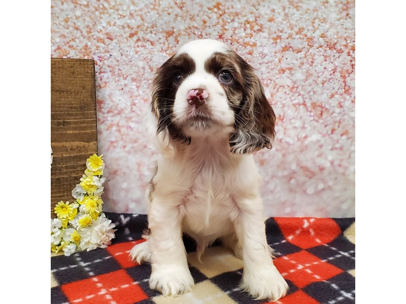 Cocker Spaniel-Male-White and Chocolate Merle-3302635-Petland Strongsville